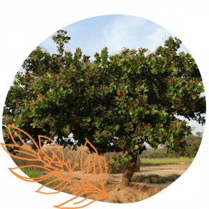 arbre à noix de cajou